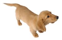 Brawl Sticker Miniature Dachshund (Nintendogs).png